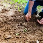 ししとうの種まきと育て方とは?種の自家採取の方法!