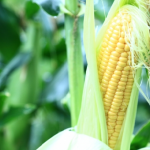 トウモロコシの播種の時期と方法は?8月頃に播種する抑制栽培とは?