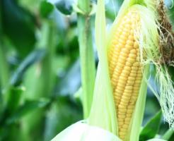 トウモロコシ 播種 時期 方法