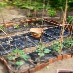 家庭菜園で育てやすいトウモロコシの品種は?選び方のポイントは?