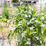 トウモロコシの追肥の回数は?いろいろな種類の肥料があるけれどどれがいいの?