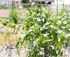 トウモロコシ 追肥 肥料 種類 回数