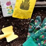 とうもろこしはプランター栽培できる?土の深さはどれくらい必要?人工授粉が必要?