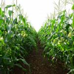 トウモロコシの花粉が飛ぶ距離を知ろう!トウモロコシ栽培の特徴は?