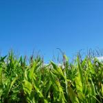 とうもろこしの成長過程は?とうもろこしの栽培のポイントは?