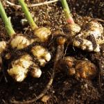 生姜の栽培!実は保存することで味が変わる?