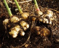 生姜 栽培 保存