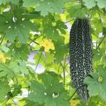 美味しいゴーヤを作りたい!肥料の頻度・タイミング・育て方とは?