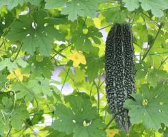 ゴーヤ 肥料 頻度 タイミング 育て方