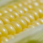 トウモロコシの輸入量と輸出量の推移は?日本の生産量は?