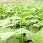 枝豆の日本一の生産量は?消費量は?