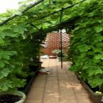 ゴーヤ栽培をプランターで!プランターのサイズや支柱の立て方について!