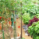 しその家庭菜園!肥料と水やりの頻度と与える量は?収穫のタイミングは?