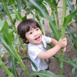 とうもろこしの収穫時期!収穫方法について!