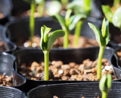 枝豆 土中緑化 効果