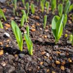 とうもろこしの苗の育て方は?とうもろこしの苗を畑で栽培する時の植え方は?