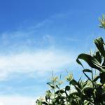 トウモロコシ黒穂病とは?トウモロコシ黒穂病の農薬や食用にしている国がある?