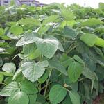 枝豆の生産量とは?日本の枝豆の自給率は何%?