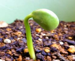 枝豆 種 寿命 取り方