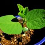 自宅で植える枝豆の豆について!数は?大きさは小さい?