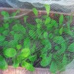 小松菜のプランターでの育て方!間引きや水やりについて!