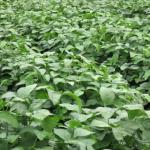 枝豆に使える農薬の種類とは?登録のある農薬と散布時期について!