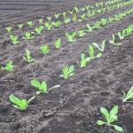 小松菜の肥料や追肥の時期は?種類や成分や量について!
