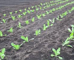 小松菜 肥料 追肥 時期 種類 成分 量