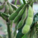 枝豆の収穫を増やすには?雨の時期は避けた方が良い?