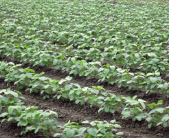 枝豆 肥料 種類 量 価格 いらない