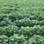 枝豆の日本の産地とは?特徴について!