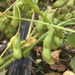 枝豆の栽培で失敗しないための方法とは?水やりや日当たりはどうする?