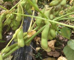 枝豆 栽培 方法 失敗 水やり 日当たり