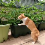 ゴーヤをプランターで育てる!肥料・追肥・水やりの基本的な方法とは?
