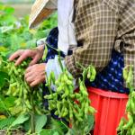 枝豆栽培に機械を使うとどうなる?!定植作業ともぎ取り作業とは?
