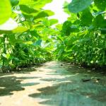 枝豆の追肥の方法とは?必要量はどのくらい?