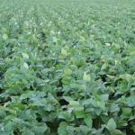 枝豆の栽培!消毒するのに適した時間帯とは?
