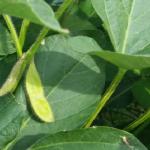 豊産種・秘伝枝豆の収穫!時期はいつ?