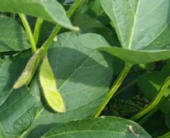 枝豆 秘伝 種 収穫時期