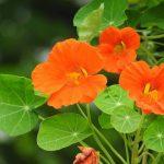 セロリの栽培!一緒に植える相性のいい花は?