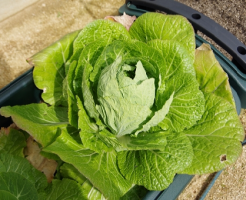 白菜 プランター 時期 収穫