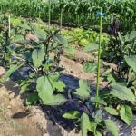 ナスの追肥の方法とは?肥料の種類は?