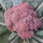 ブロッコリーが紫色!?品種などによる違いについて!