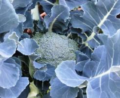 ブロッコリー べと病 品種 農薬