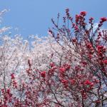 梅と桜!それぞれ何科?違いは?