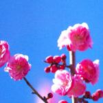 梅の花!一重と八重の2種類がある!?梅に似たオーストラリア原産の花とは?
