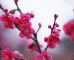 梅 早咲き 遅咲き 種類