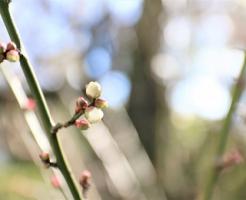 梅 花芽 葉芽 違い