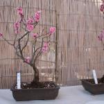 梅の盆栽の種類について調べてみよう!どれくらいあるの?