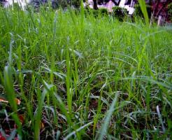 ニラ 栽培 発芽 期間 時間